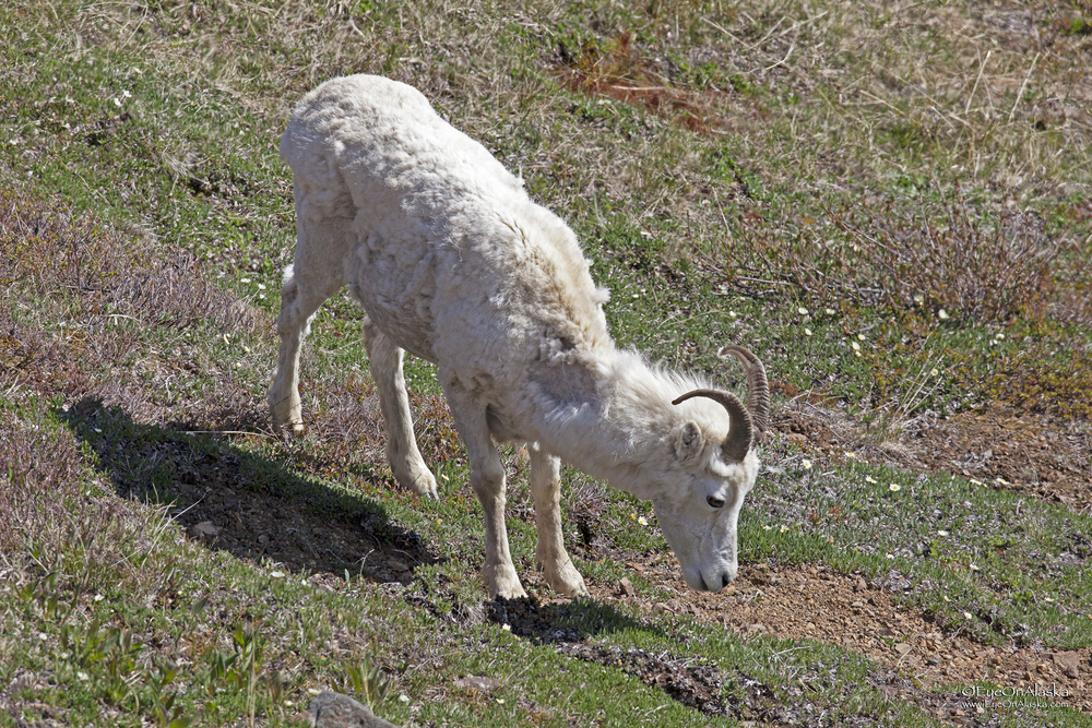 Dall Sheep #2
