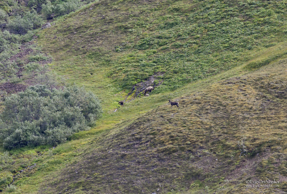Caribou meets bears.