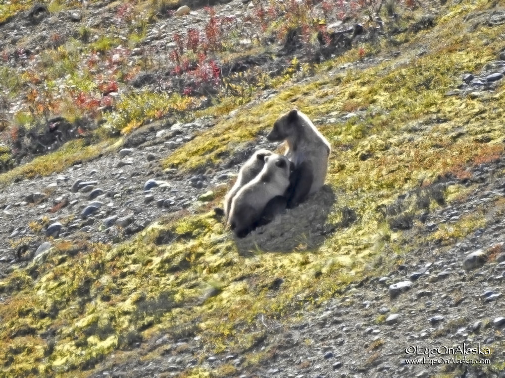 And here's what happens when my good camera died on me completely.  We are biking from the top of Highway Pass back to Toklat when we see a different Momma bear with twins on a hillside below the road.  We get off the bikes and watch them for almost a half hour and then she reclines back against the hillside and nurses them!   We took these shots with Devany's point and shoot.  They nursed for quite a while and then all fell asleep in the sun.