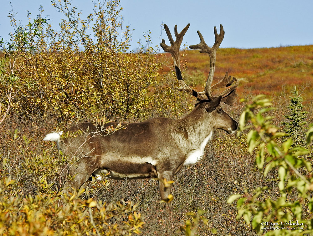 Big caribou next to the road as we drive out of the park for the last time this year.  Can't wait to go back.