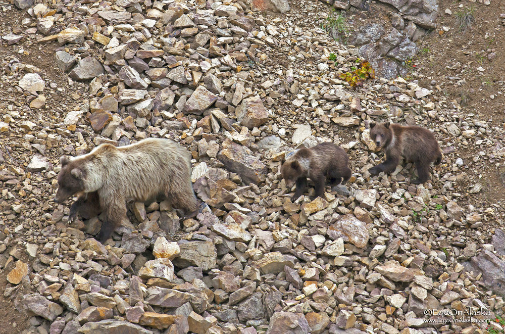 The thrill of the day.  Just as we get to the East Fork river bridge, we see momma bear with the only surviving triplets in the park.  It's rare for all three to survive.  The little one got himself stuck in the steep rocks and was screaming for mom to come save him.  This is a shot of mom and the two other cubs coming back.
