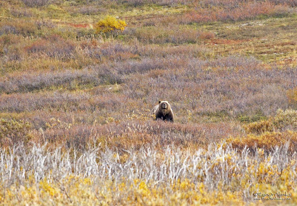 And now the fun begins.  We've gotten off the bus again at the top of Sable Pass and are biking down towards East Fork.  We come around a corner and Devany sees just a hint of blond and brown fur and thinks it's a Wolverine.  Nope, that's a big bear, and it stands up and sees us.  It's only about 100 yards off the road.
