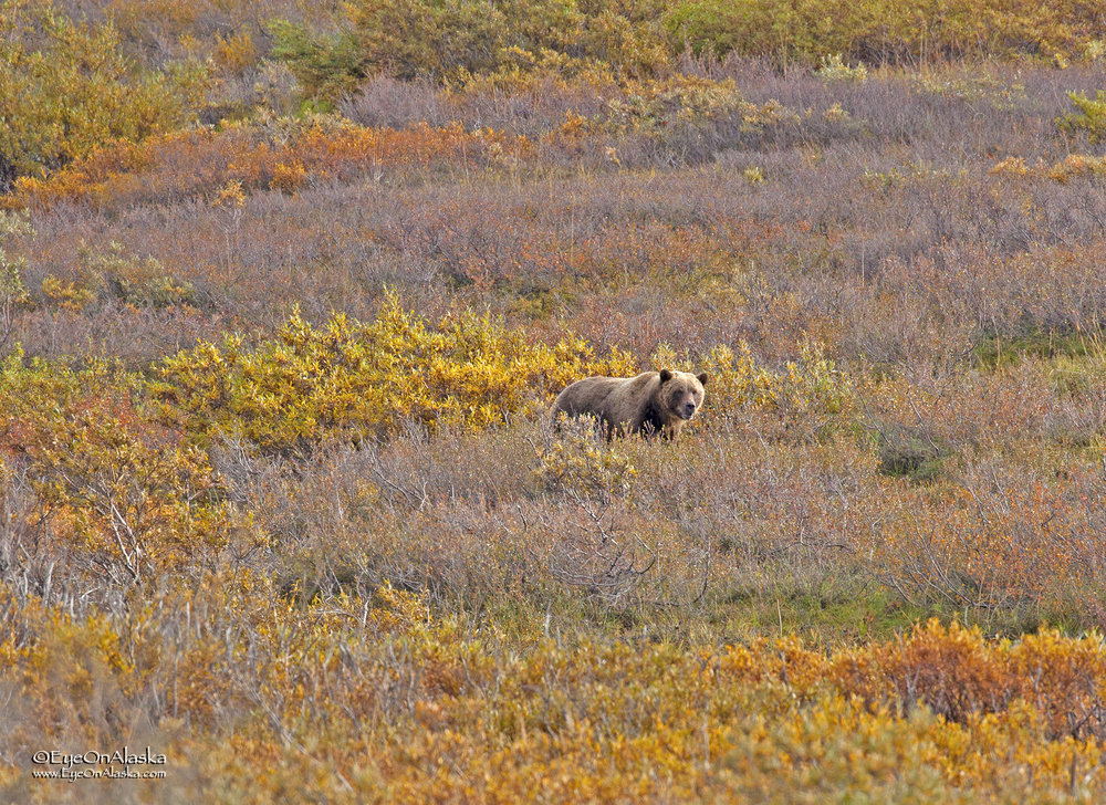 We had to run into the one really curious bear of the day.  He heads down towards the road--and us--pretty rapidly.  We're off the bikes and walking them down the road away from him as quickly as we can without running (that's the wrong thing to do).
