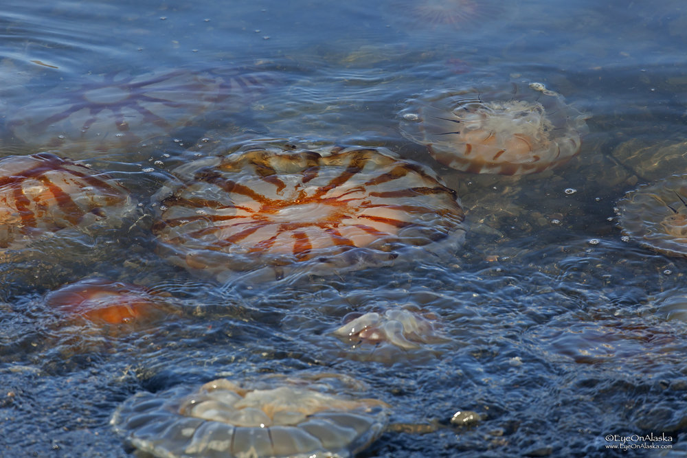 The shoreline was absolutely filled with jellyfish at low tide.