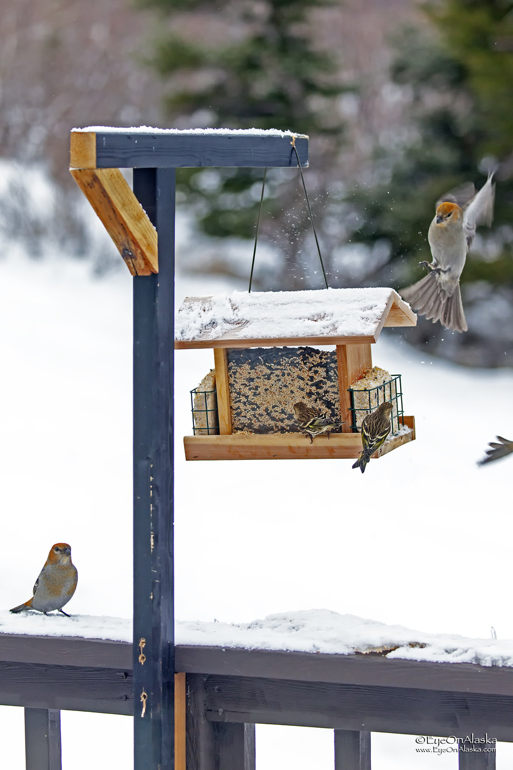 The little birds are Pine Siskin's.