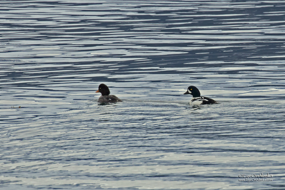 A pair of Barrow Goldeneyes on Resurrection Bay.