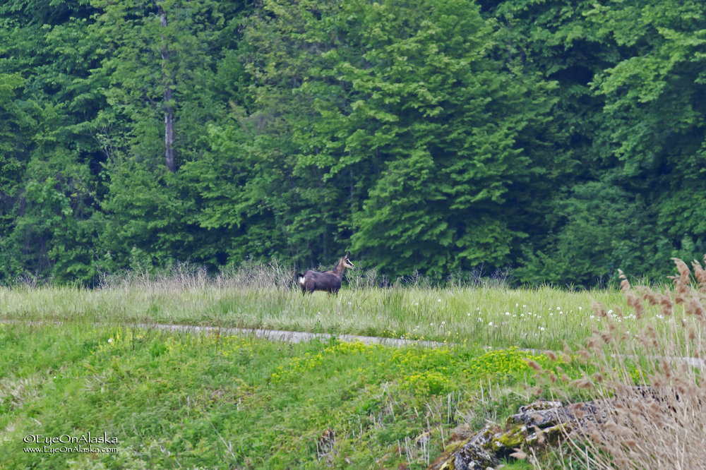 A wild Chamois deer along the canal.  Quite a ways away, but really cool to see one in the wild bounding along the canal.