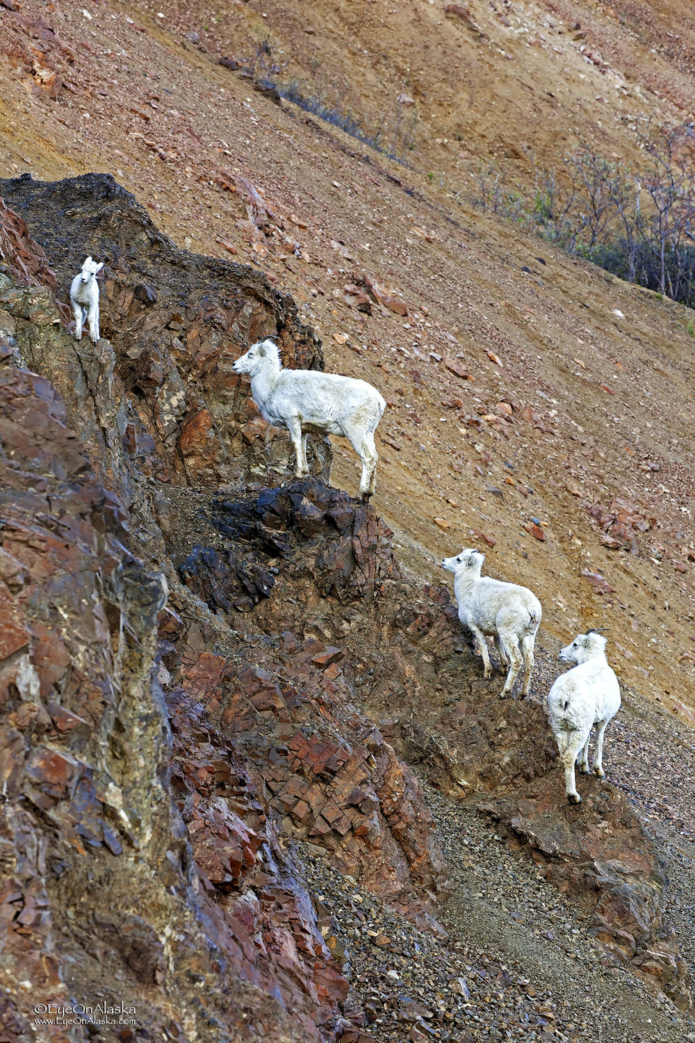 Little bitty sheep playing King of the Mountain.