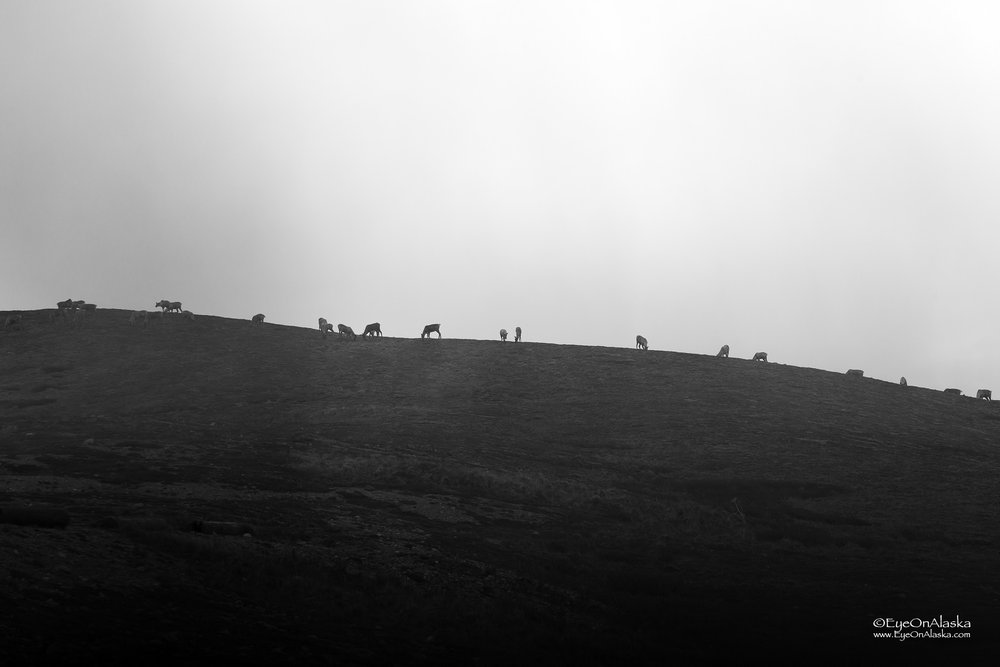 Caribou on the ridge in the fog.