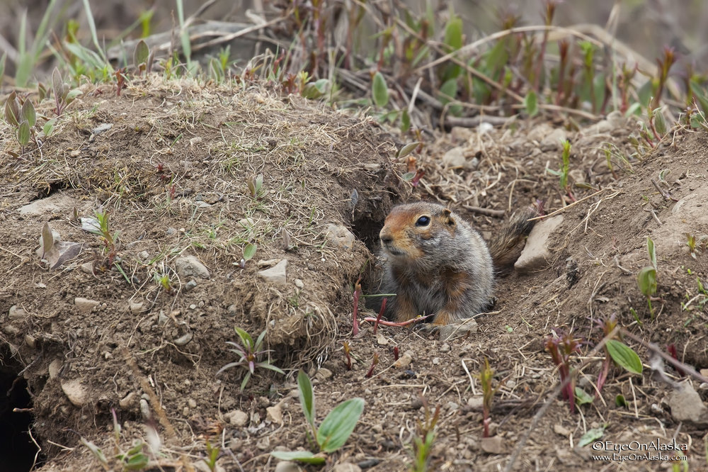 Arctic ground squirrel.  Also known as bear and eagle mcnuggets.