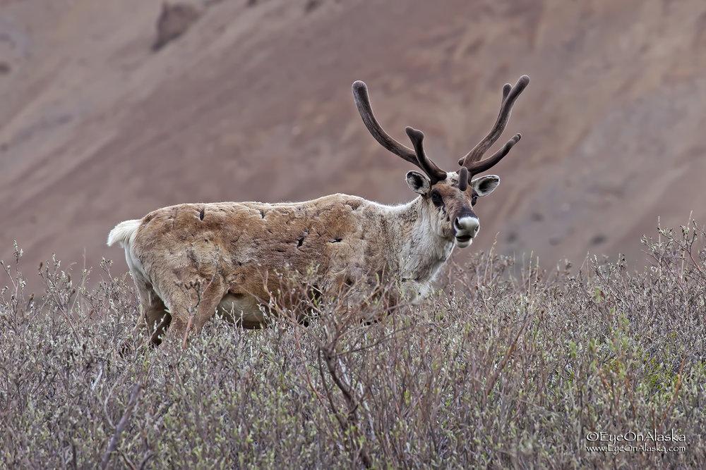Curious caribou.
