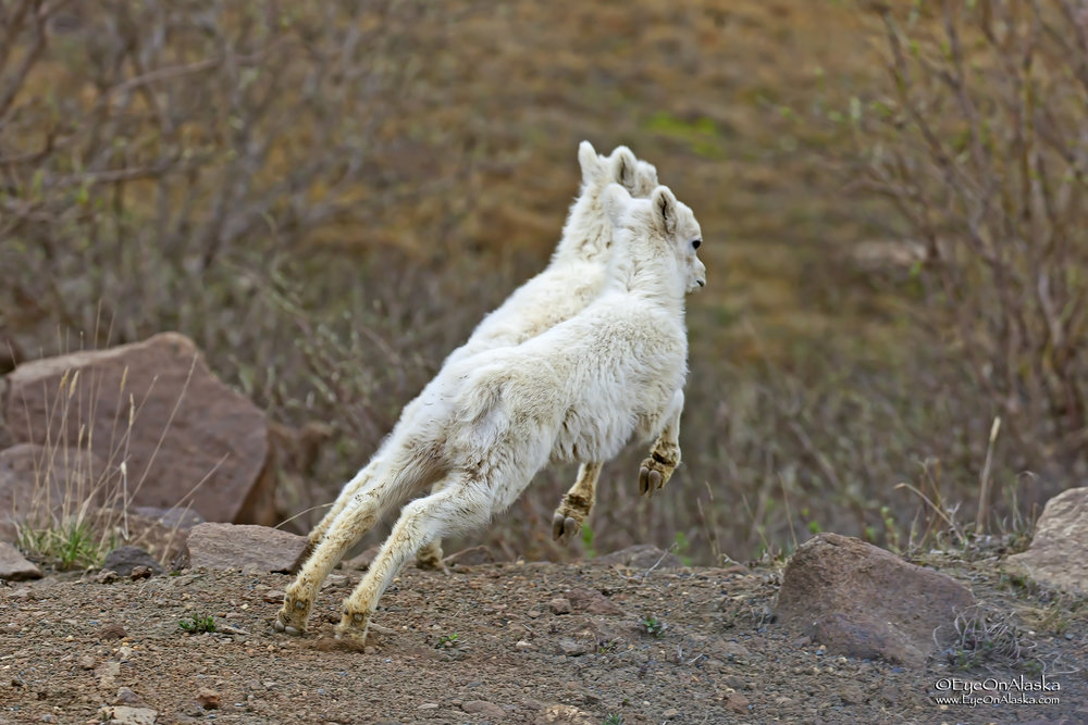 Ready, set, go!   We watched this pair of newborn Dall Sheep playing near the top of Polychrome Pass for quite awhile.
