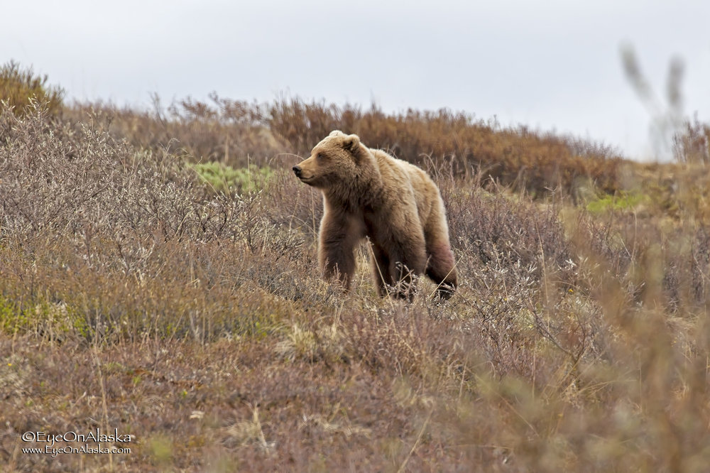 Another close encounter while on the bus, this time near the top of Sable Pass.  This bear came charging down the hill directly at the bus chasing a ground squirrel.