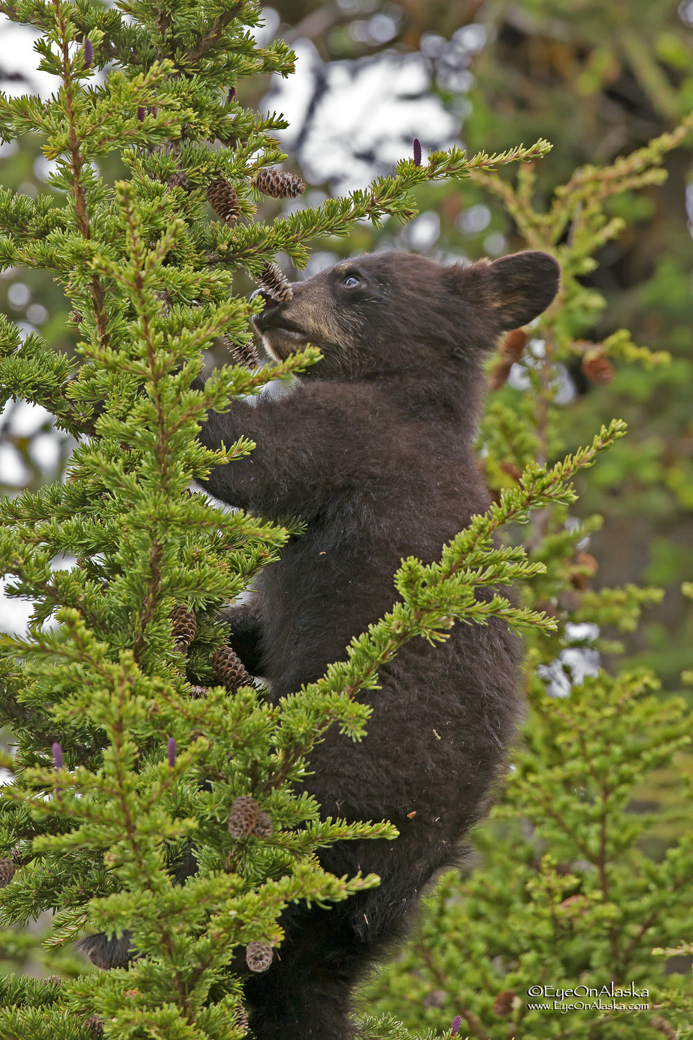 Let's just see what's up here.  A very brown black bear cub.  They come in all different shades.
