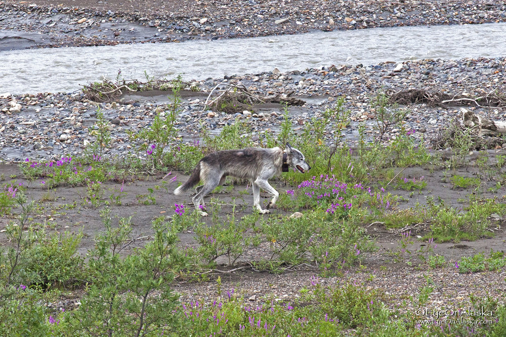 Saturday, July 8th.  We've loaded the bikes onto the first bus of the day and have barely left the campground when Devany spots this on the Teklanika River below us, a female wolf with a radio collar.