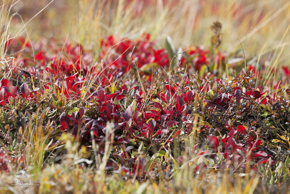 The tundra colors are exploding all around us.
