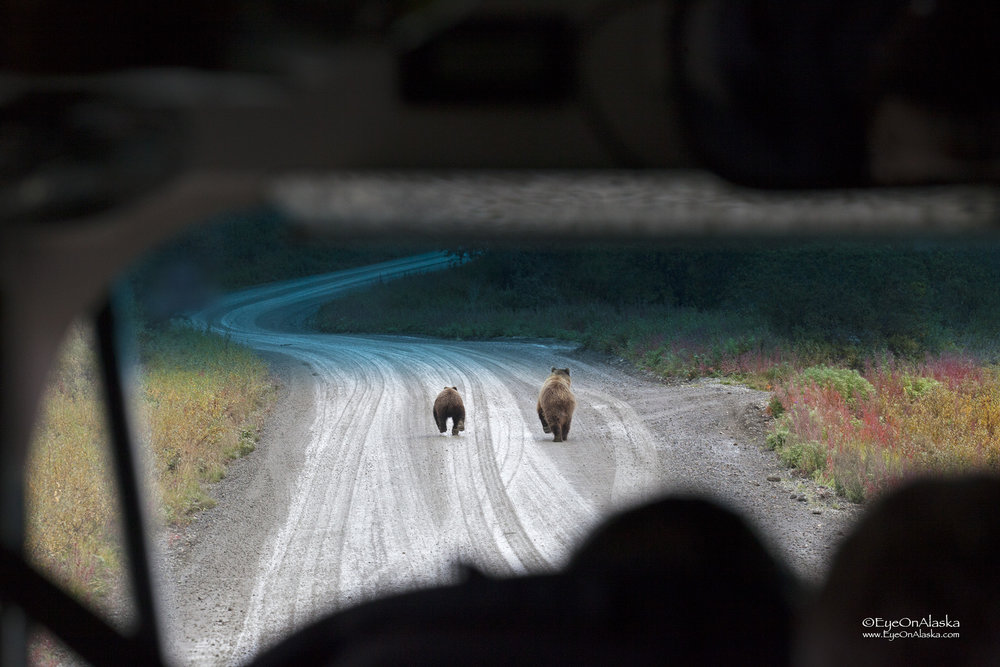We see one of our favorite drivers back at Toklat so we jump on Anna's bus and start heading out.  As we're coming downhill from Polychrome Pass we run into Mama Bear and cub walking down the middle of the road.