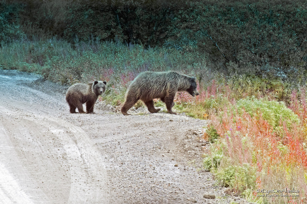 and we proceed to follow Mama and cub for 45 minutes and a good 3 miles!  The drivers are not allowed to herd or push the animals off the road, so we follow along.