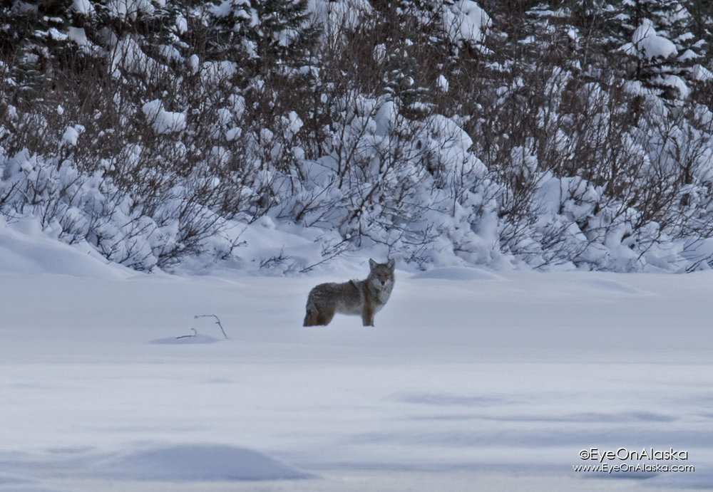 A very healthy looking Coyote out on the river just as we were pulling in.  He was down the river quite a distance, so only got 2 quick shots.
