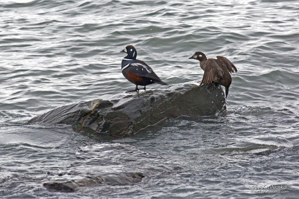 A pair of Harlequin ducks.