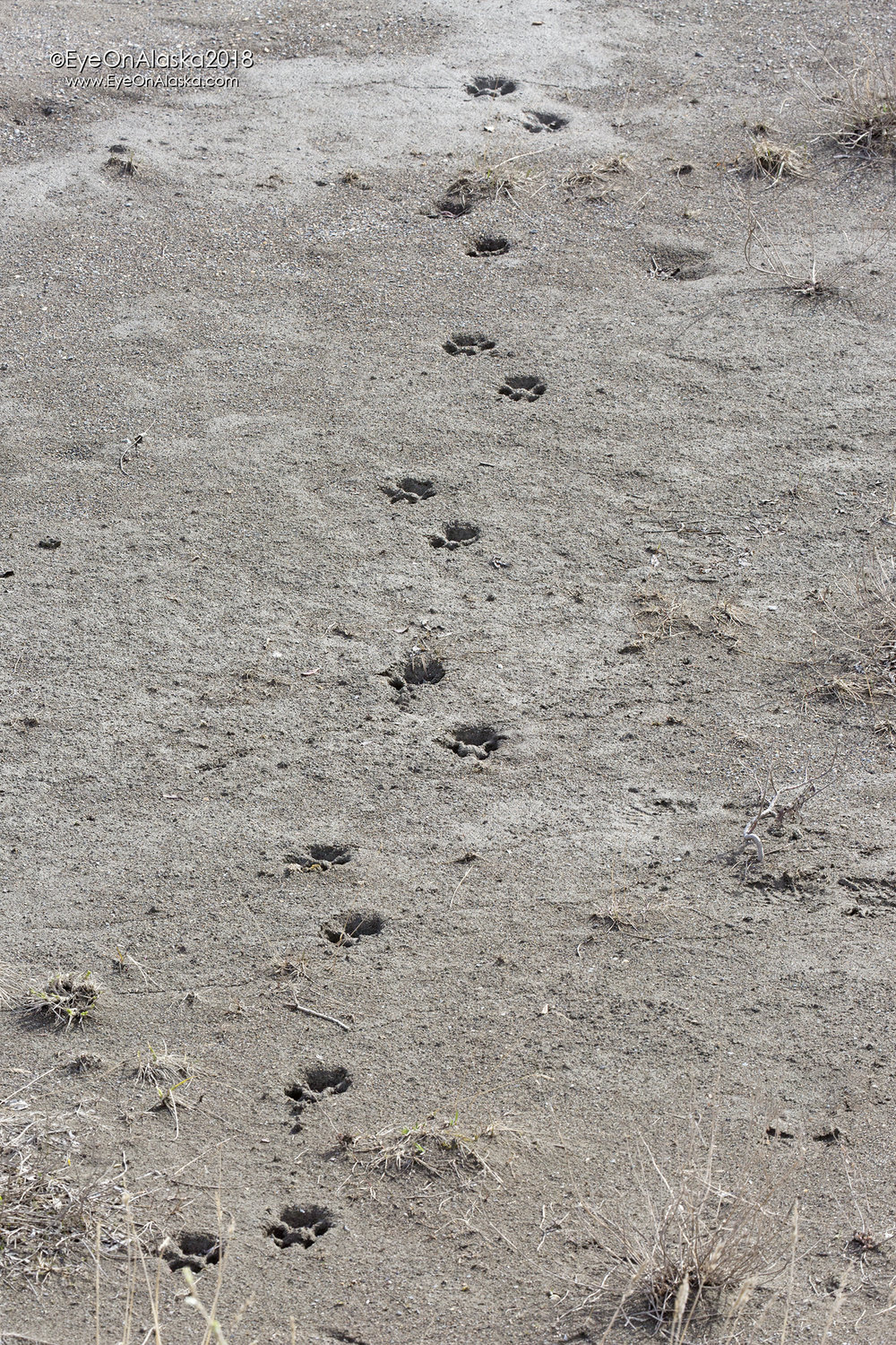 Pretty fresh set of wolf tracks on the Toklat River mud.  Sadly, we didn't get to see any wolves this trip.