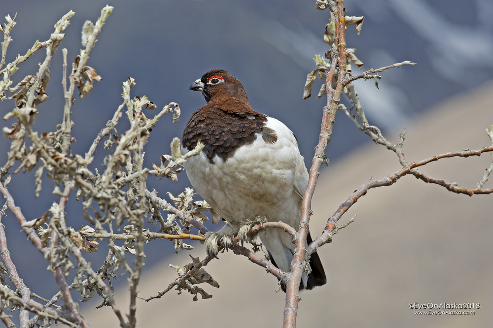 Saturday morning.  Shuttle to the top of Sable Pass again and get on the bikes.  This male Ptarmigan was waiting to greet us in the early morning sun.