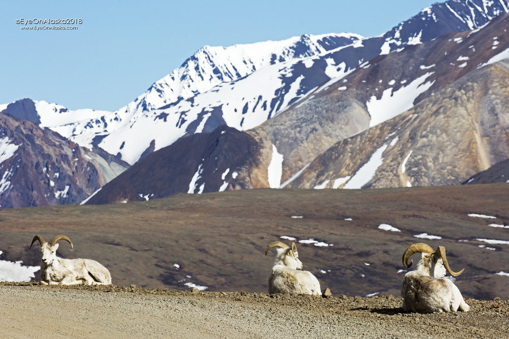 Sunday we're back in on another gorgeous day.  The Dall Sheep are just hanging out in the sun at Polychrome Pass.