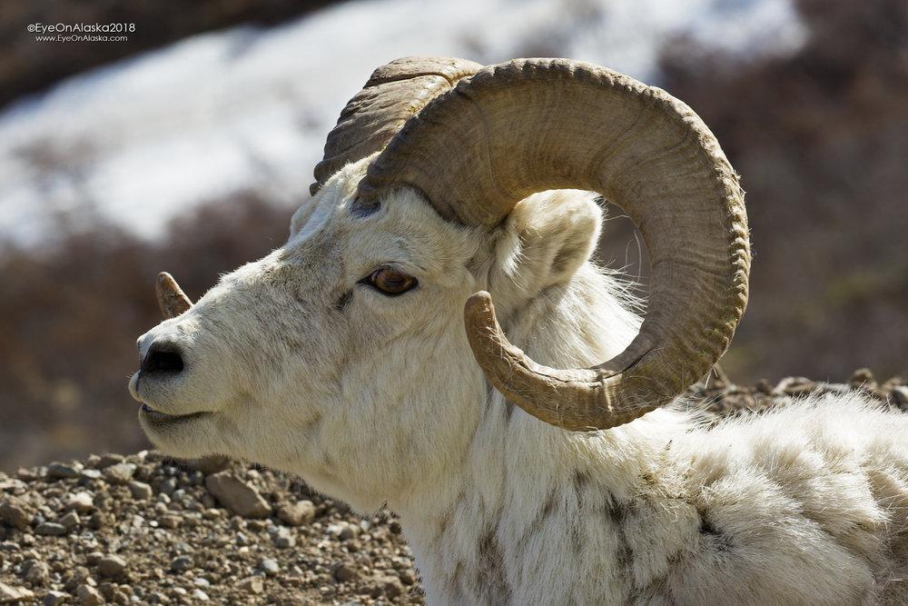Pretty good sized male Dall Sheep.
