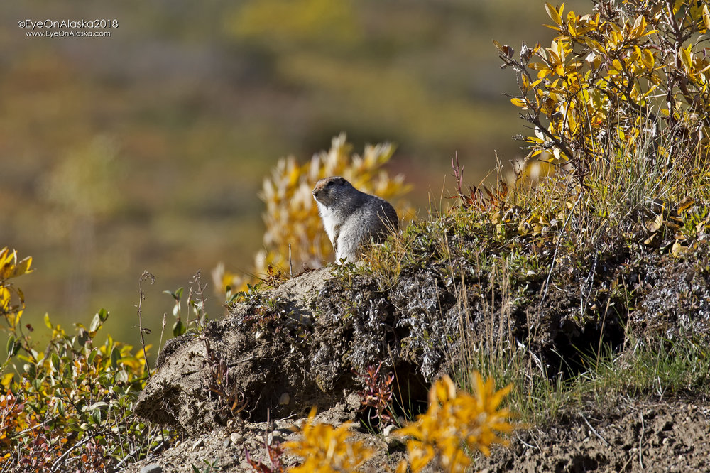 Arctic Ground Squirrel watching me bike down Highway Pass.  It won't be much longer until it's hibernating for the winter.