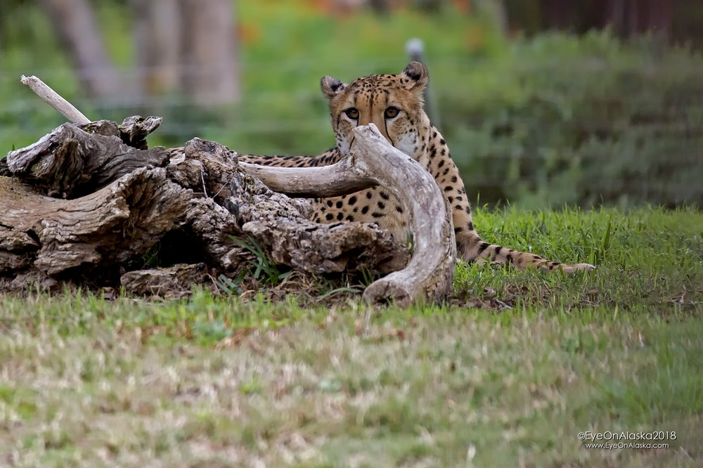 Cheetah.  The one animal I hoped to see in Kenya, but never did.