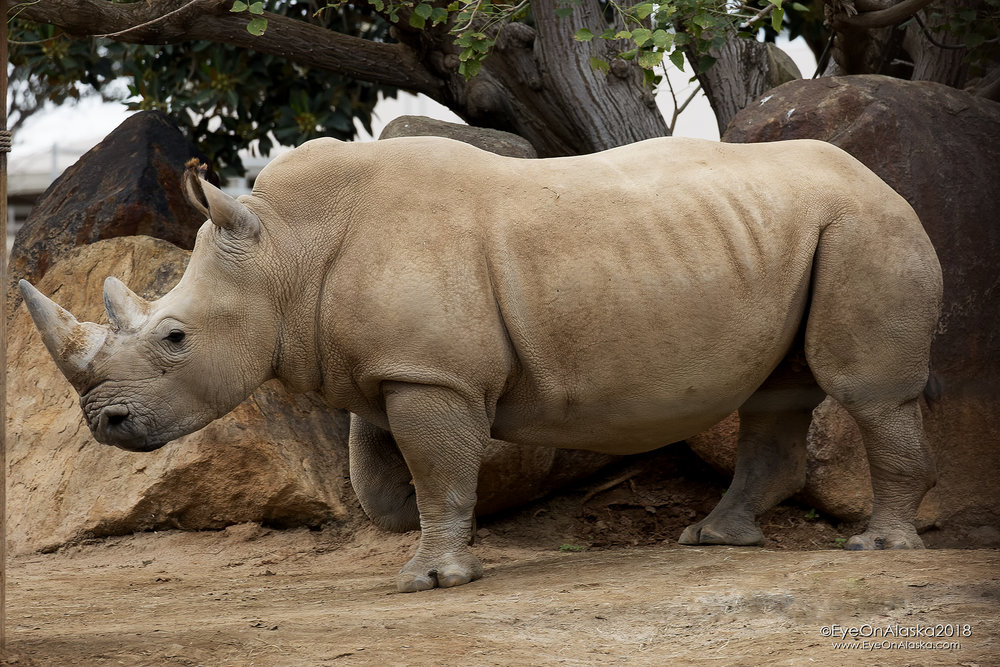 One of the rhino's in the research project.