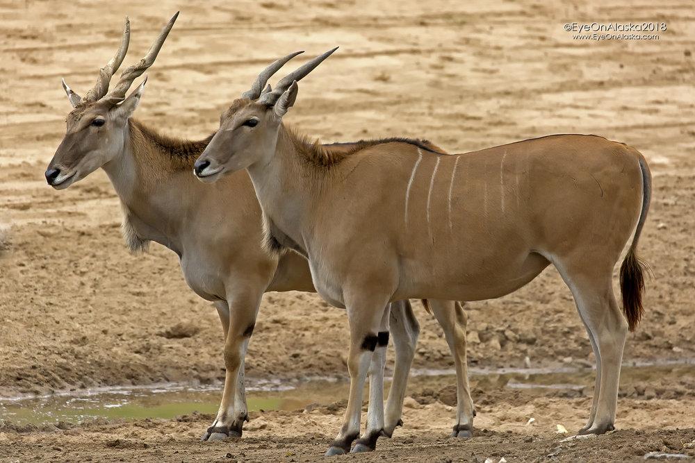 Spiral Horned Antelope