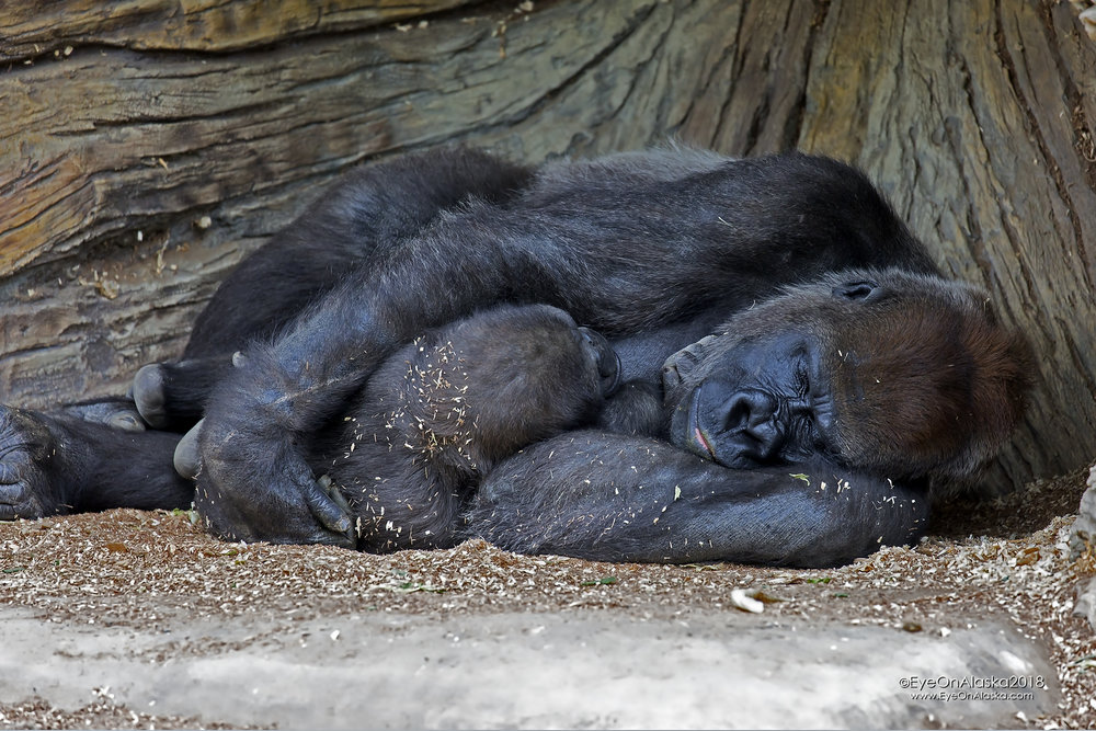 Mother and baby gorilla.