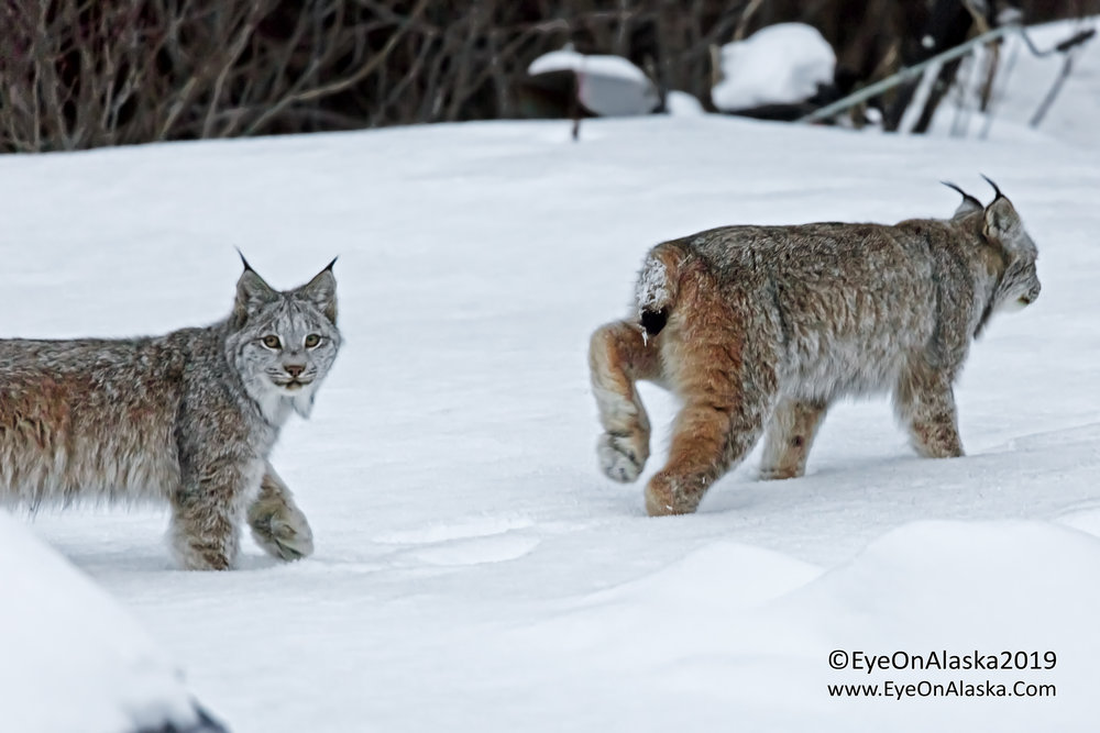 The two finally joined back up and headed into the trees to follow their mom.