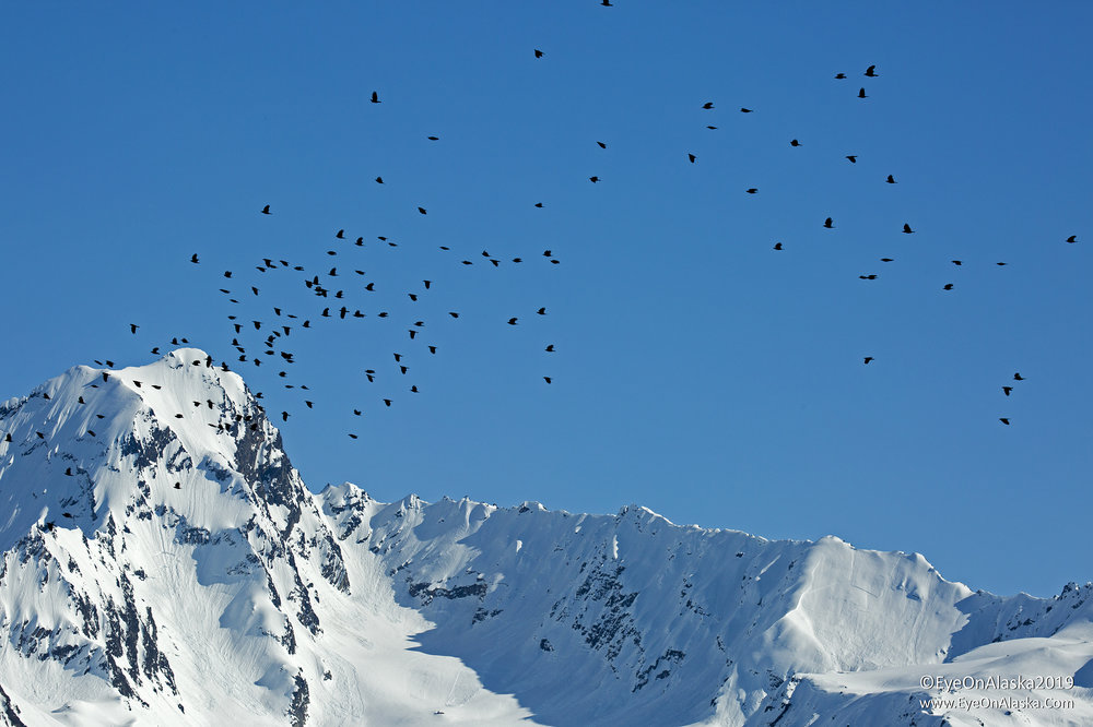 The Seward Crows take to the skies for an early morning murder.