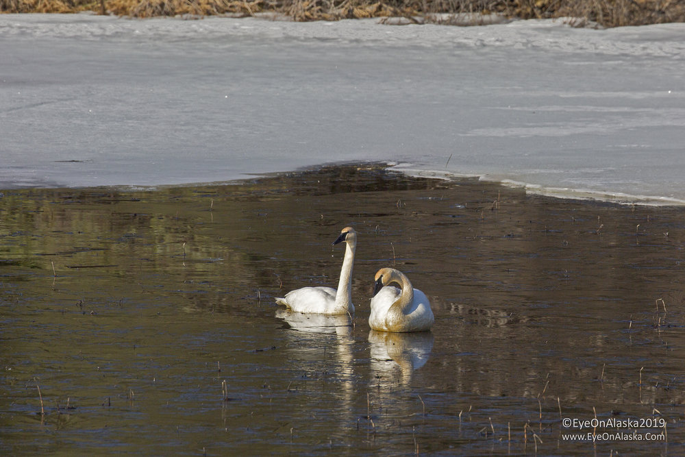 It's definitely Spring.  Saw a lot of swans as they make their way back into Alaska for the summer.