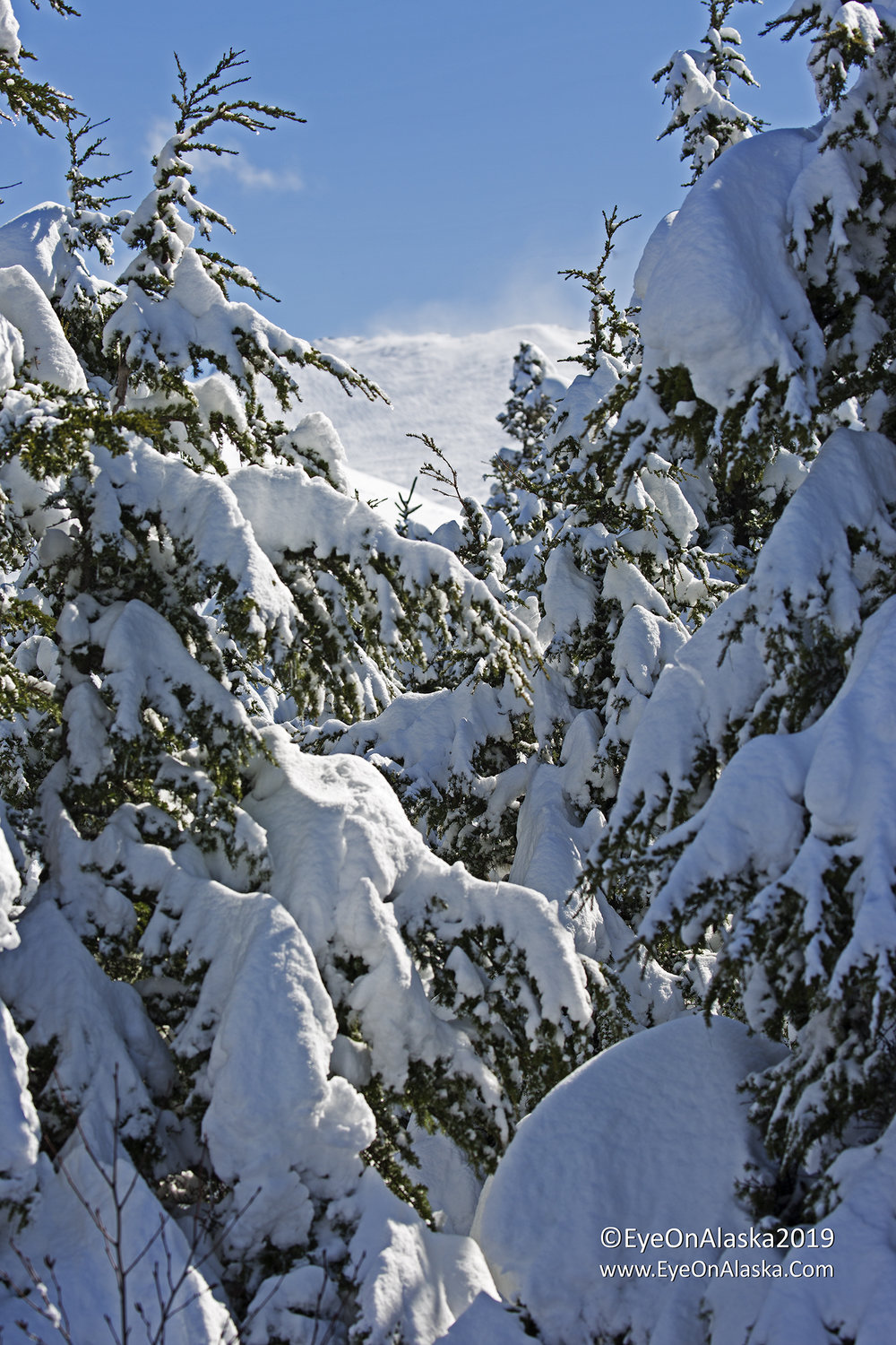 The snow in the trees is just incredible.  But there's high wind up on the ridge of the Chugach Mountains behind us, so I'm expecting this won't last long.