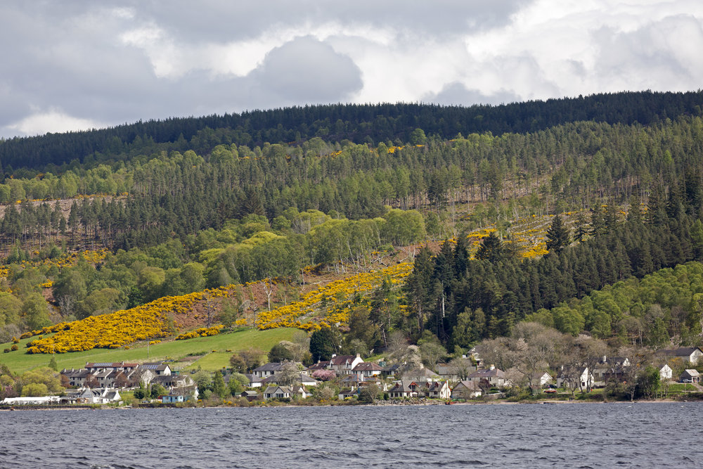 The gorse is in full bloom along the hillsides of Loch Ness.