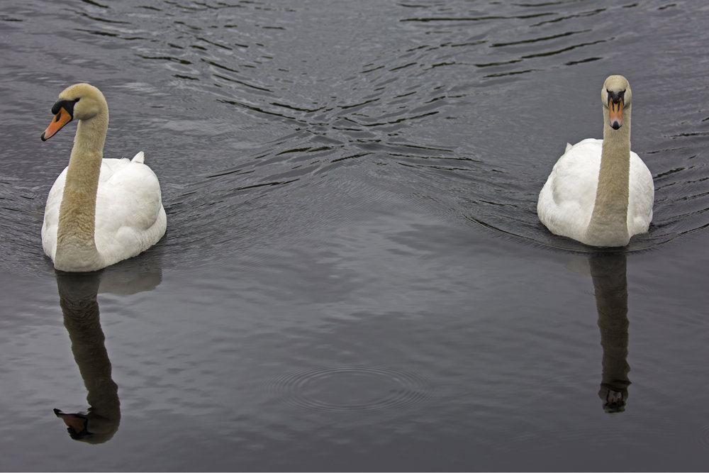 A couple of the local swans came to say hi.