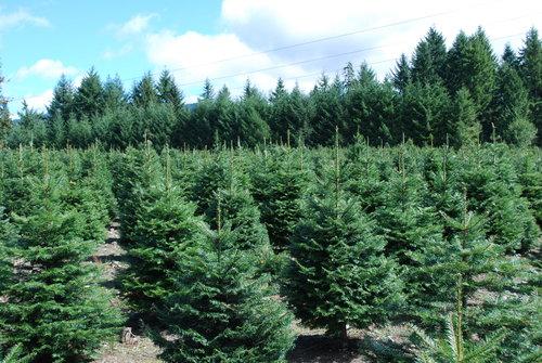 christmas tree farm 2008 061jpg christmas tree pics for web 179 - Christmas Tree Farm