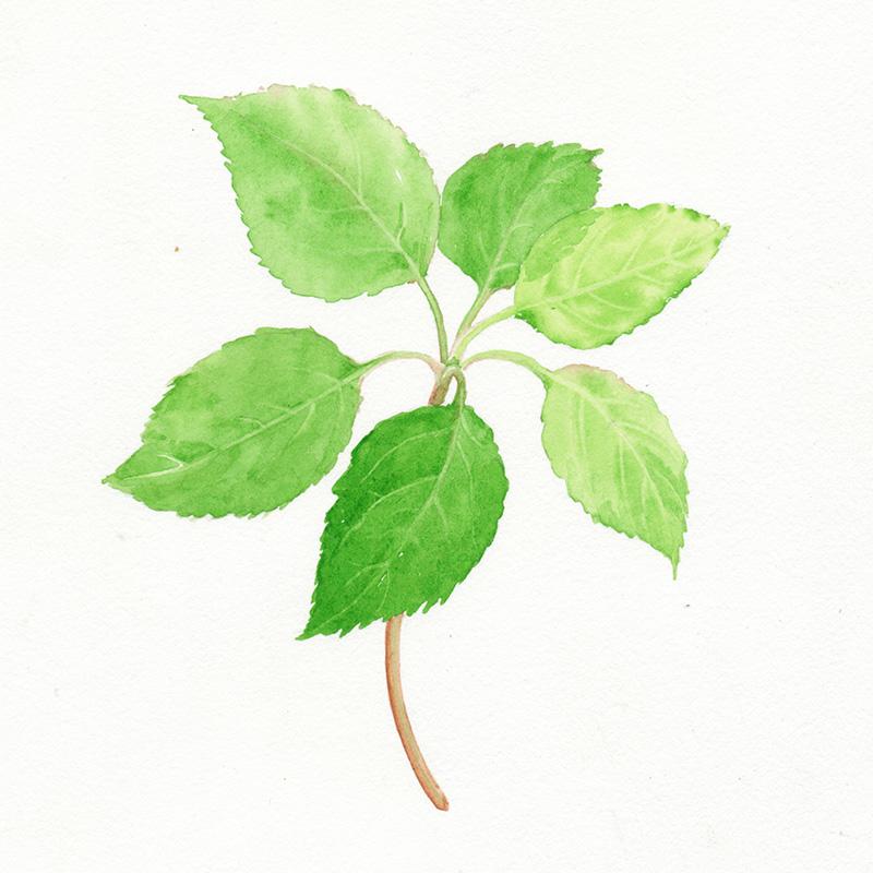 apple leaves watercolor