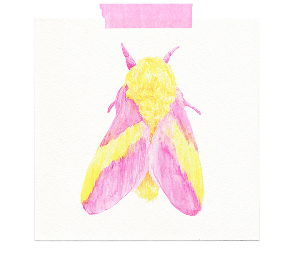 rosy-maple-moth-watercolor-painting-1.jpg