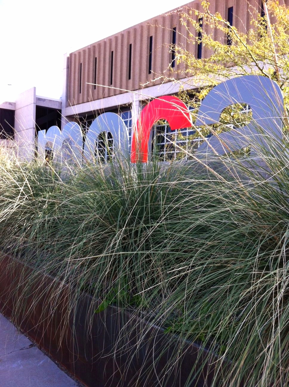 Muhlenbergia rigens in front of the Museum of Contemporary Art.