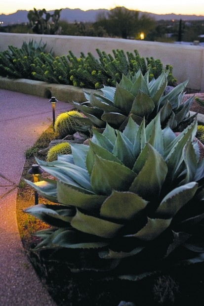 Agave ovatifolia gently highlited by pathlights.