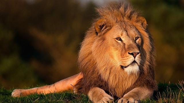 The lion sleeps tonight. Early tonight.