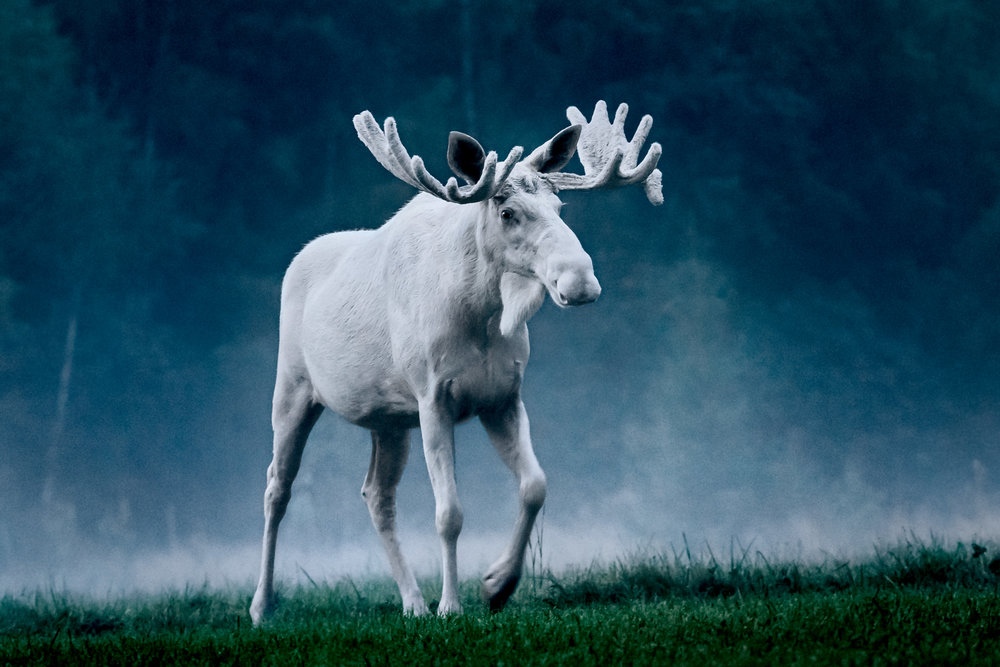 Ze bestaan toch echt... wit eland bij Arvika