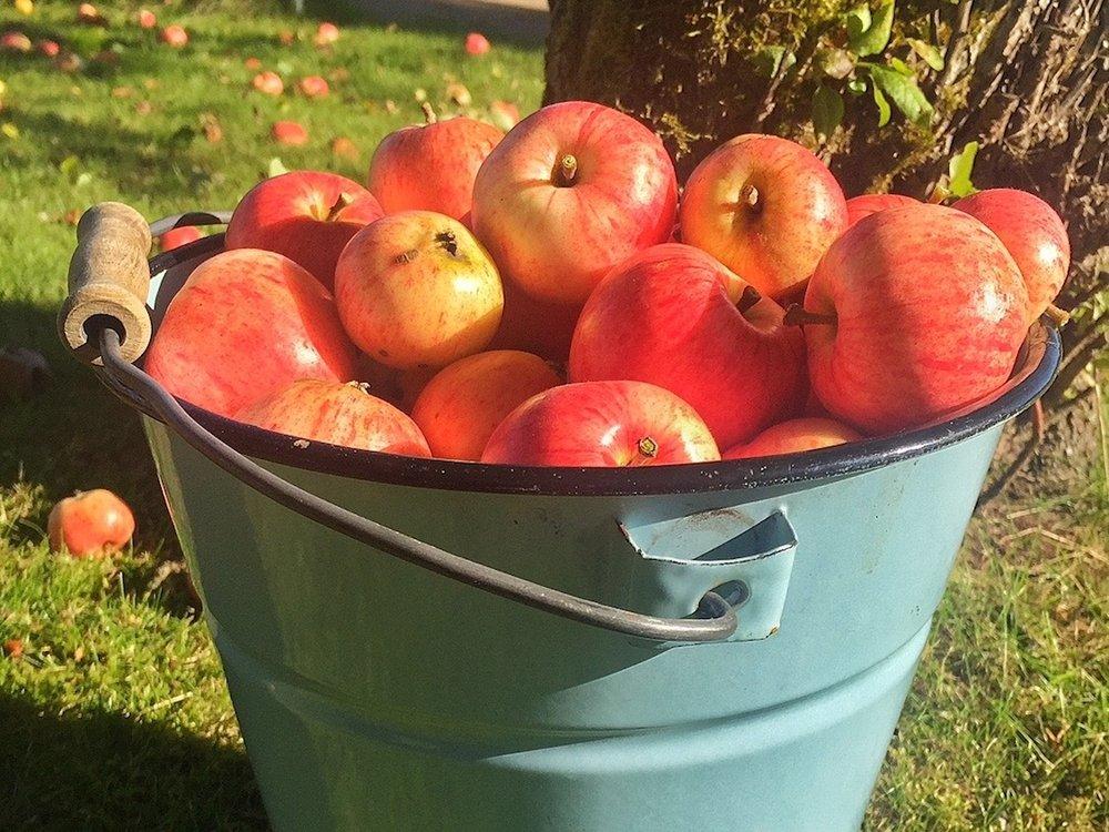Apple harvest in September