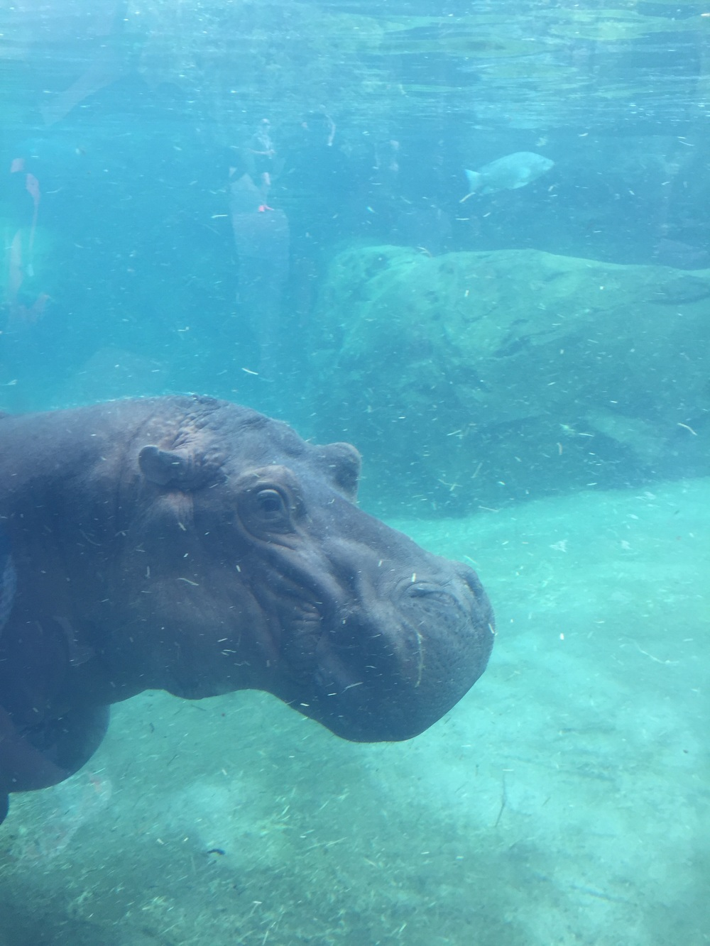 Underwater portion of the new hippo exhibit at the Cincinnati Zoo