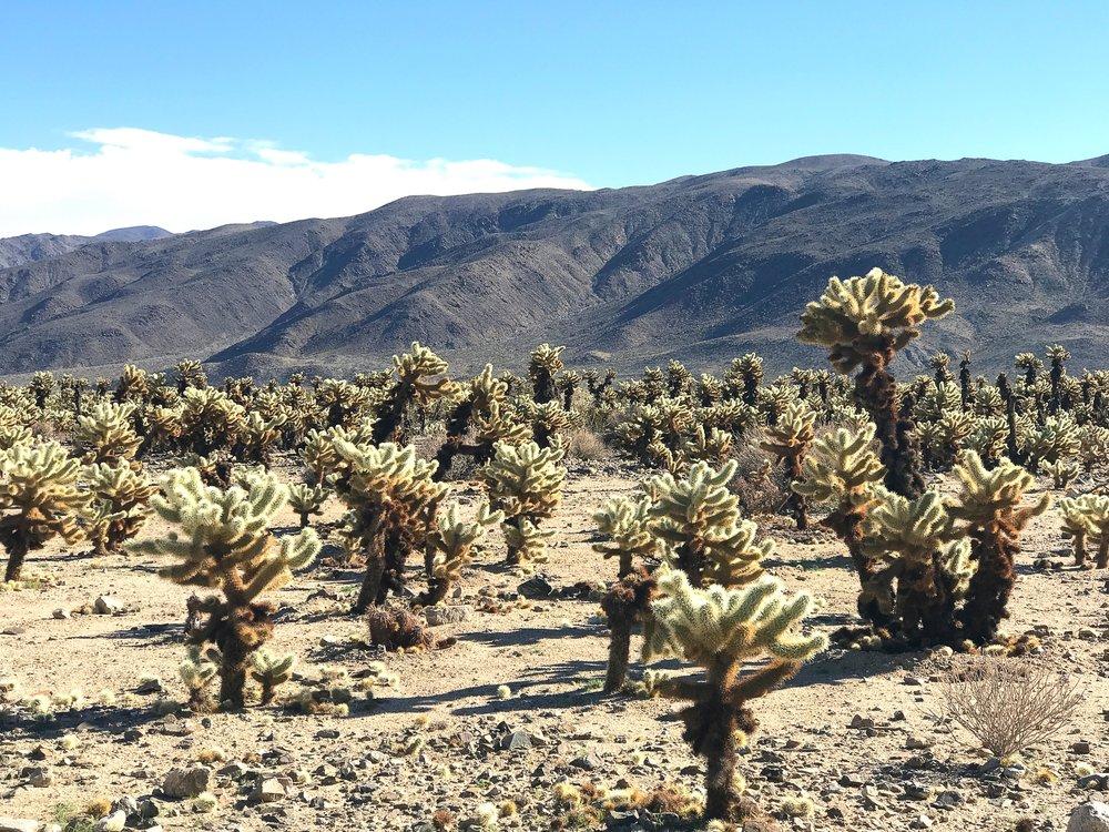 Joshua Tree Cacti Garden