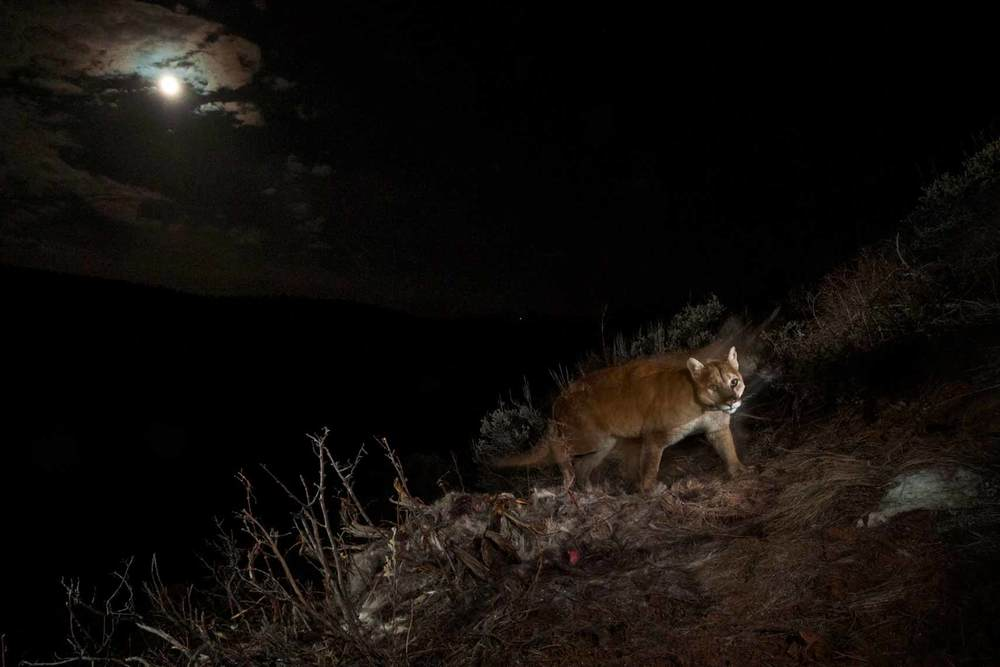 Happy Cougar Moon